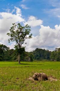 Water Buffalo Toraja